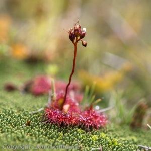 Sundew (Drosera spathulata)