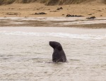 Our first glimpse of a young male sealion