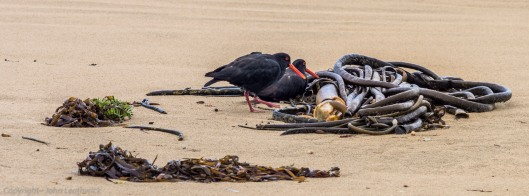 Oyster catchers - Surat Bay