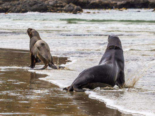 Hooker's sea lions at Surat Bay