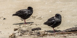 Variable Oyster Catchers - Maori Beach