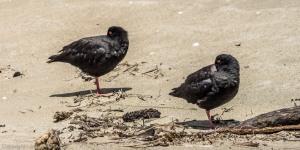 Variable Oyster Catchers - Maori Beach